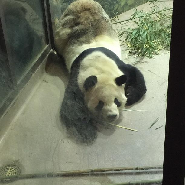 """Pandas, National Zoo, Washington, D.C."""