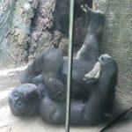 Bronx Zoo Gorillas in the Mist! WW w/Linky! @BronxZoo #travel #NYC